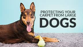 How to protect your carpet from large dogs